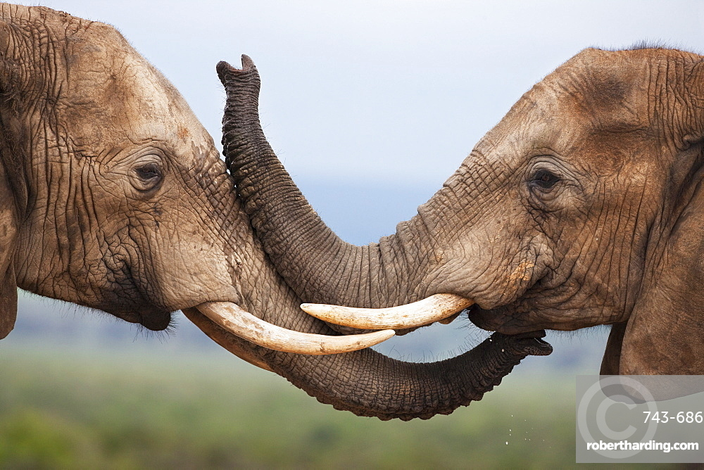 Elephants (Loxodonta africana), greeting, Addo National Park, South Africa, Africa