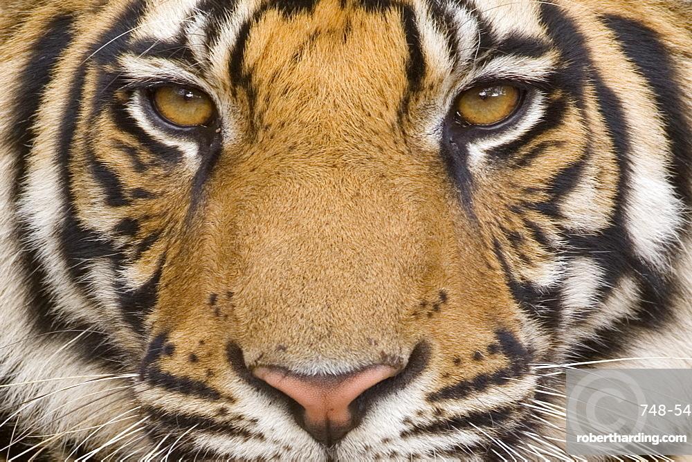 Bengal tiger - Wikipedia