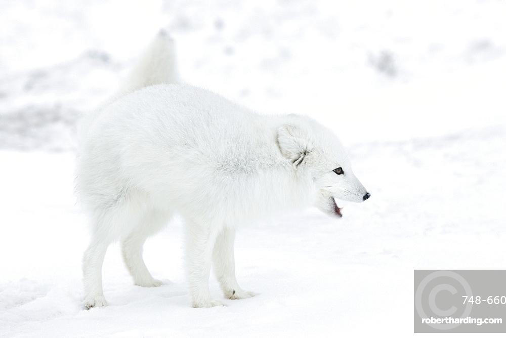 Arctic fox (Polar fox) (Alopex lagopus), Churchill, Hudson Bay, Manitoba, Canada, North America