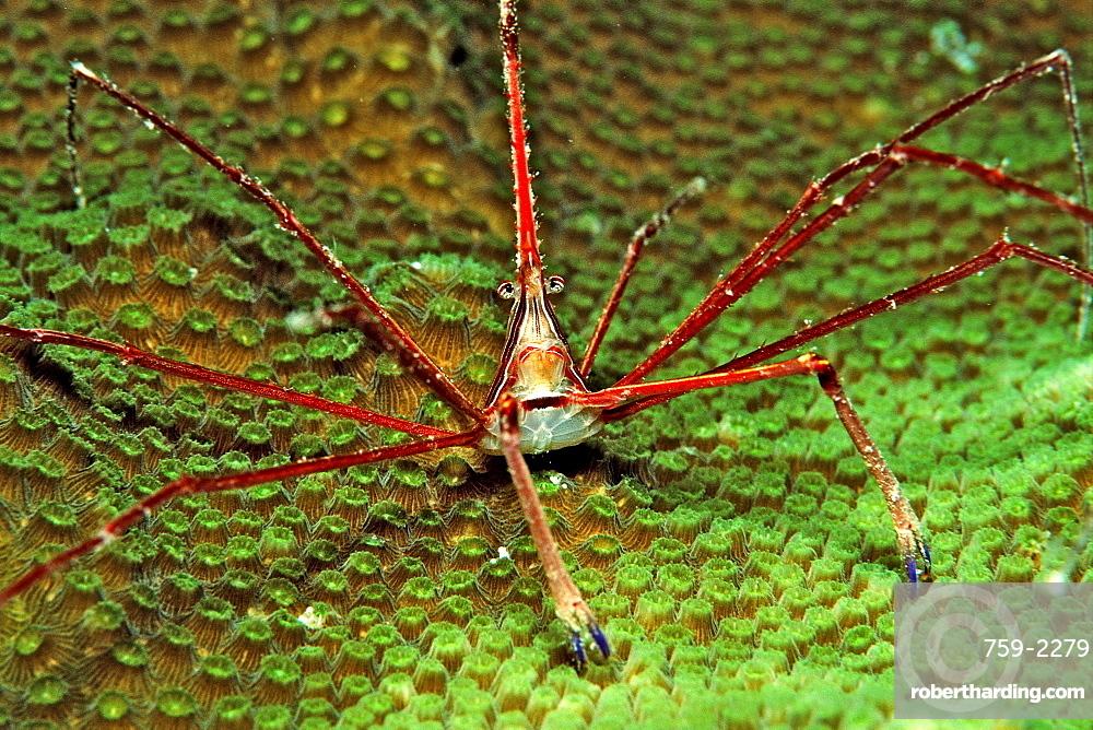 Spider crab, Stenorhynchus seticornus, British Virgin Islands, BVI,  Caribbean Sea, Leeward