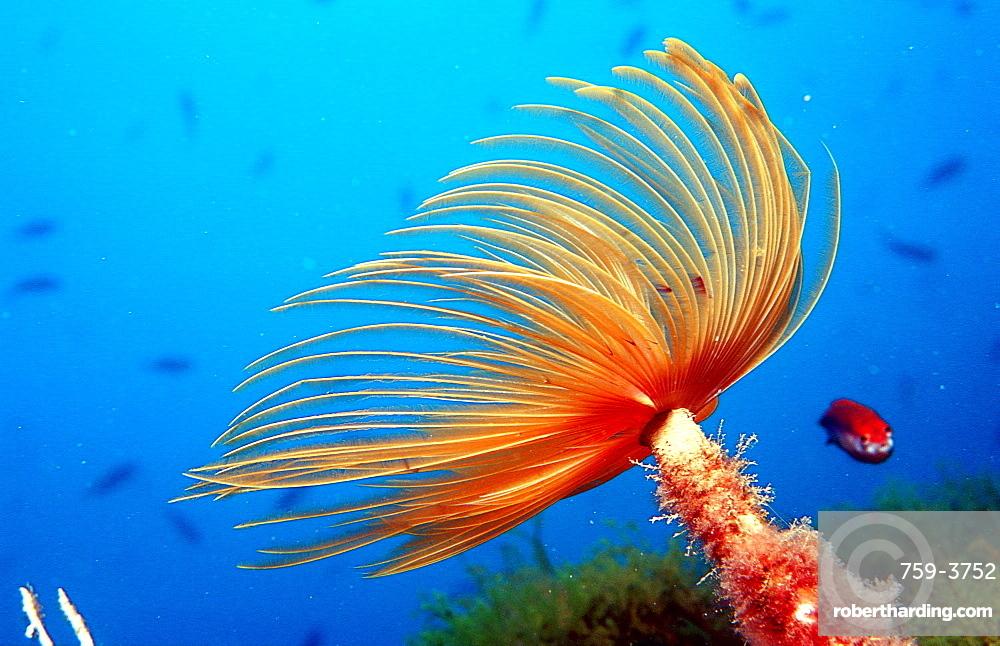 Fan worm, Spirographis spallanzani, Spain, Mediterranean Sea, Costa Brava