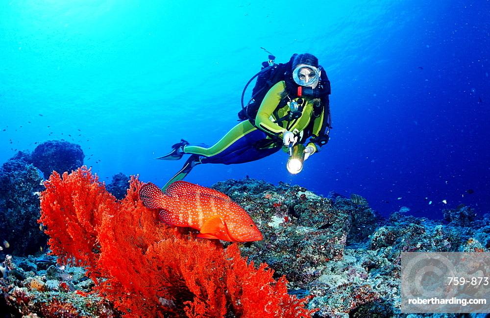 Coral grouper and scuba diver, Rebreather, Cephalopholis miniata, Maldives Island, Indian Ocean, Ari Atol