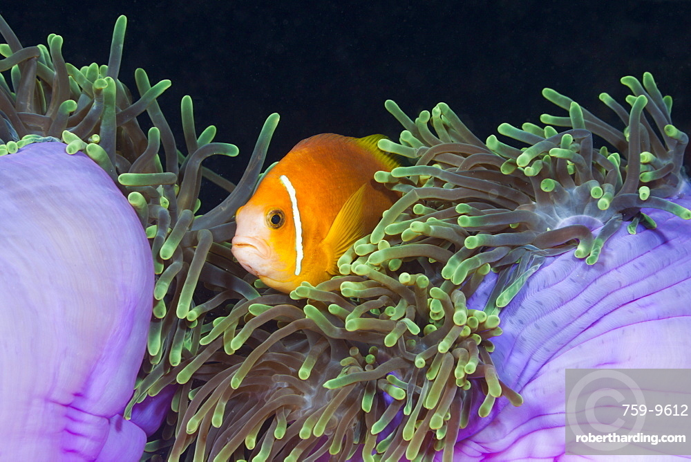 Endemic Maldives anemonefish (Amphiprion nigripes) in magnificent anemone (Heteractis magnifica), Baa Atoll, Maldives, Indian Ocean, Asia