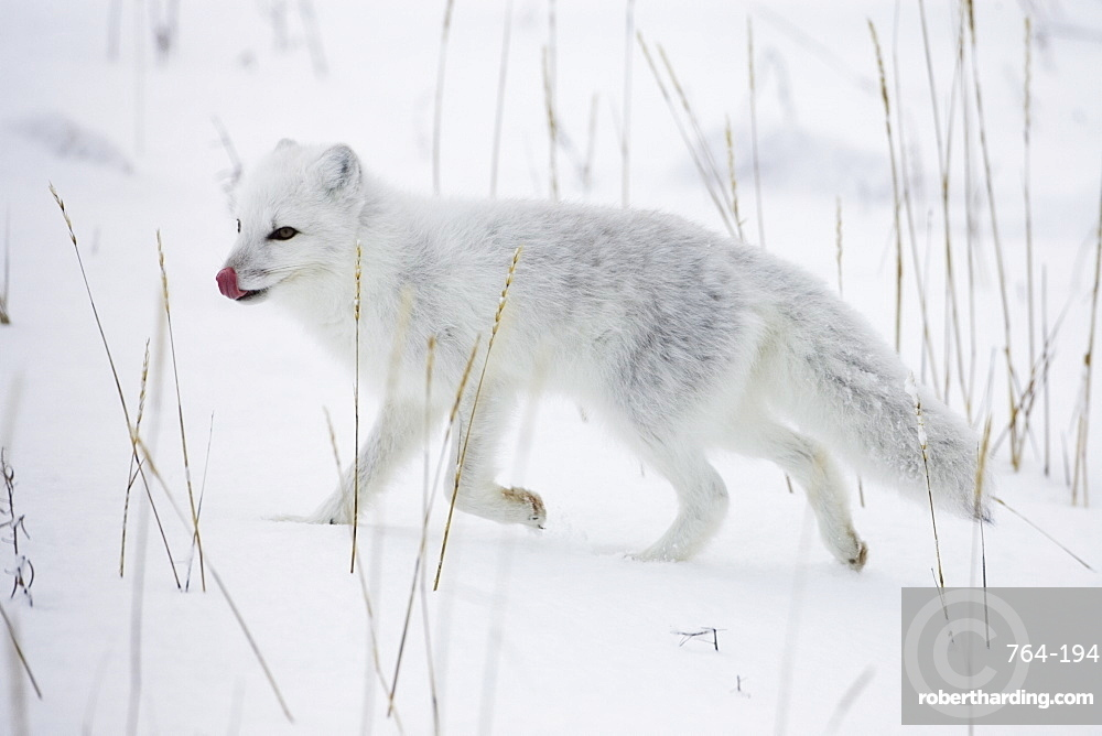 Arctic fox (Alopex lagopus) running in snow, near Churchill, Manitoba, Canada, North America