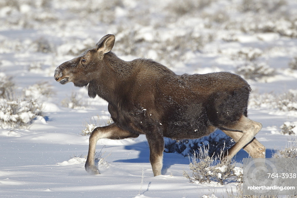 Moose (Alces alces) calf on a winter morning, Grand Teton National Park, Wyoming, United States of America, North America