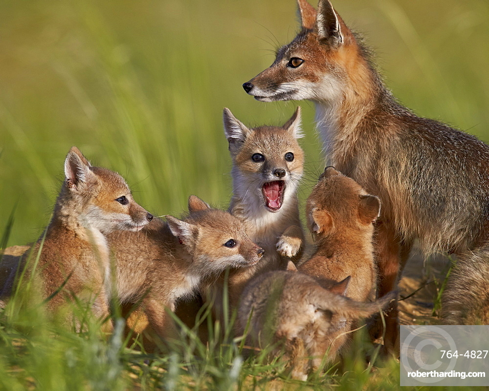Swift fox (Vulpes velox) vixen and kits, Pawnee National Grassland, Colorado, United States of America, North America