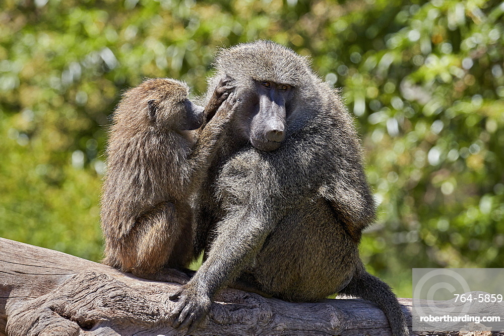 Olive Baboon (Papio cynocephalus anubis) juvenile grooming an adult male, Ngorongoro Crater, Tanzania, East Africa, Africa