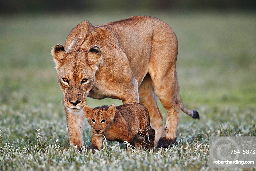 Lion (Panthera leo) cub and its mother, Ngorongoro Crater, Tanzania, East Africa, Africa