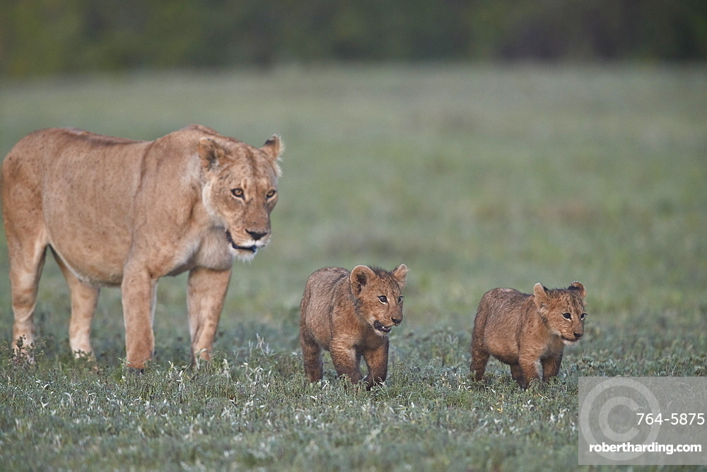 Two lion (Panthera leo) cubs and their mother, Ngorongoro Crater, Tanzania, East Africa, Africa