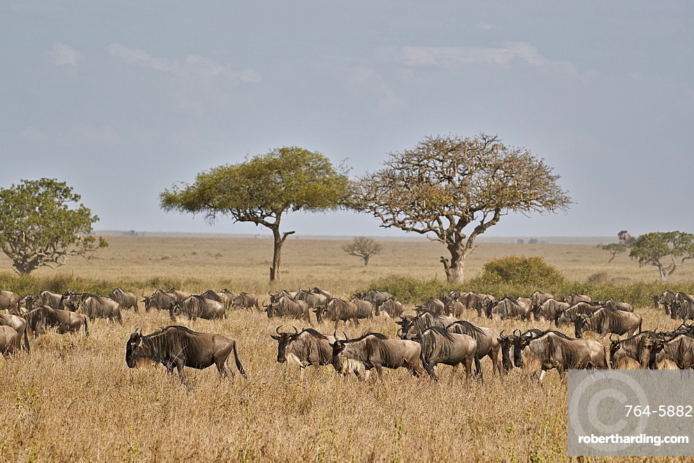 Blue wildebeest (brindled gnu) (Connochaetes taurinus) migration, Serengeti National Park, Tanzania, East Africa, Africa