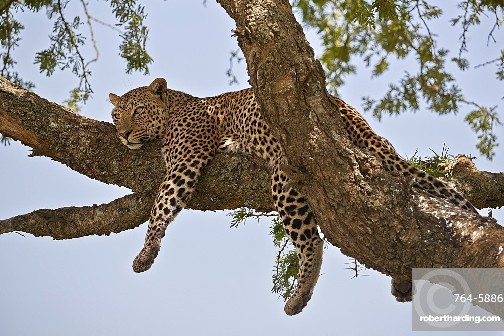 Leopard (Panthera pardus) relaxing in a tree, Serengeti National Park, Tanzania, East Africa, Africa