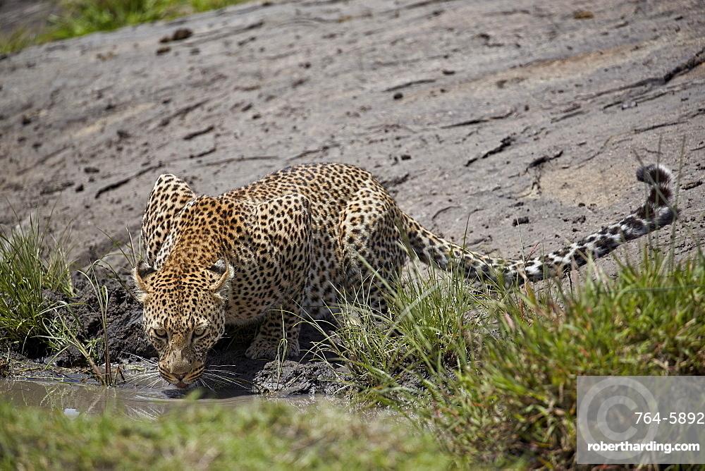 Leopard (Panthera pardus) drinking, Serengeti National Park, Tanzania, East Africa, Africa