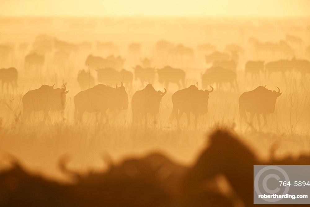 The Migration, blue wildebeest (Connochaetes taurinus) and common zebra (Equus burchelli), Serengeti National Park, Tanzania, East Africa, Africa