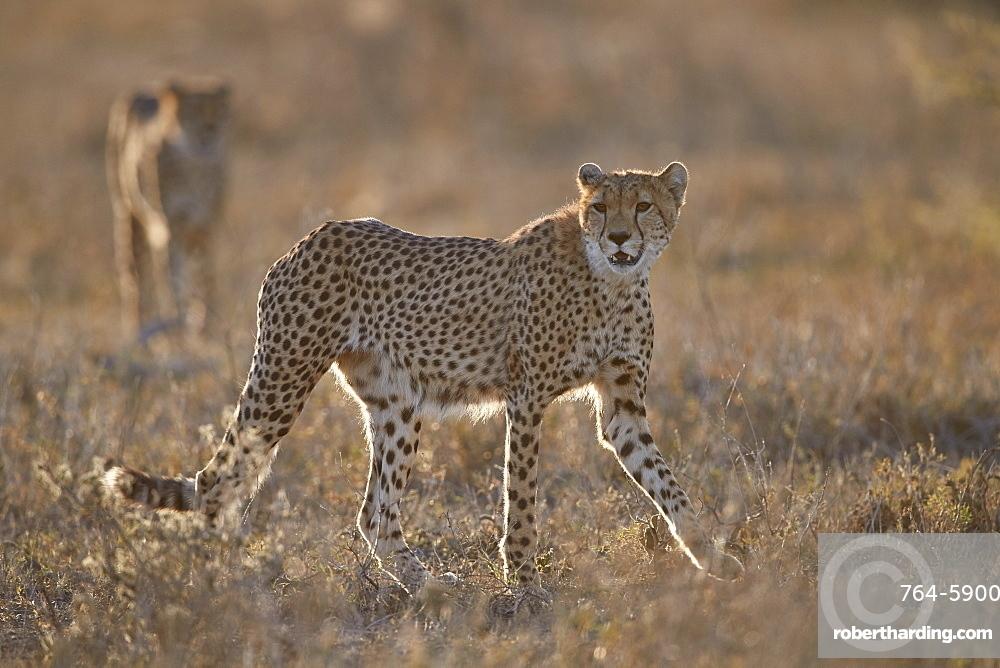 Two Cheetah (Acinonyx jubatus), Ngorongoro Conservation Area, Tanzania, East Africa, Africa