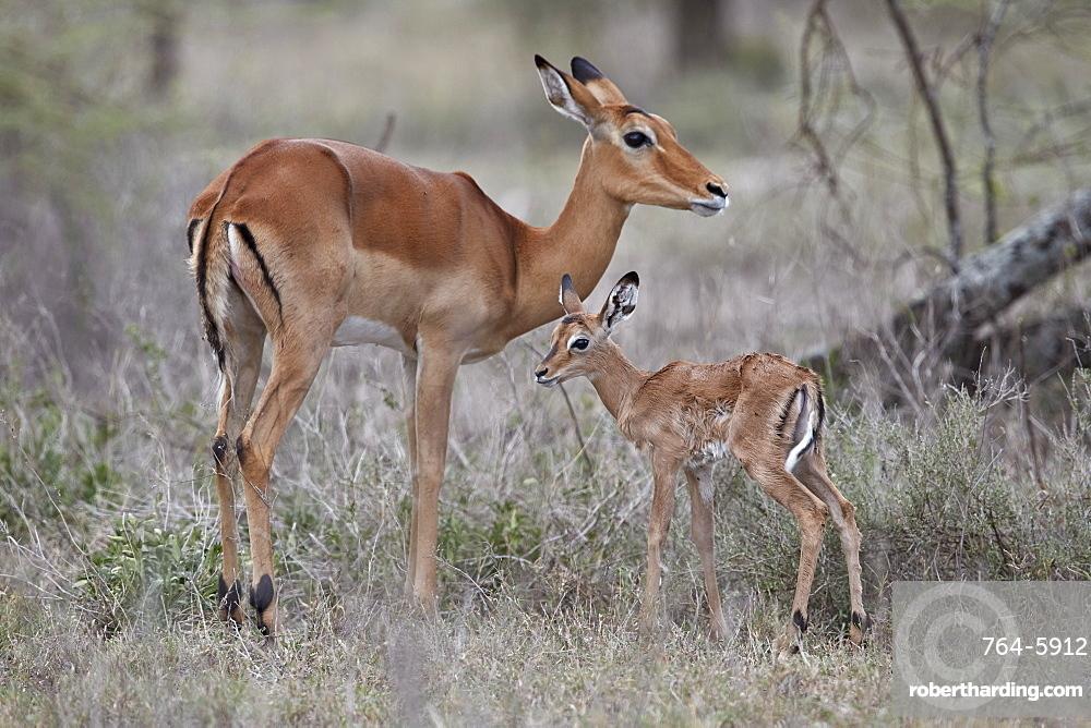 Impala (Aepyceros melampus) doe and minutes-old calf, Ngorongoro Conservation Area, Tanzania, East Africa, Africa
