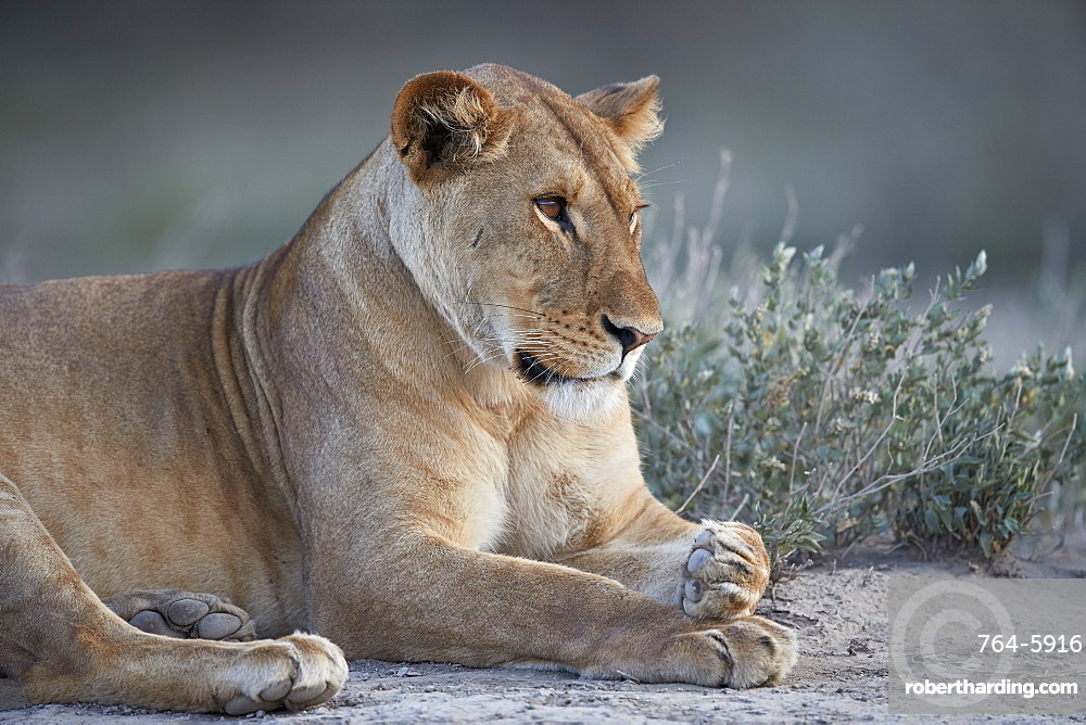Lioness (Lion) (Panthera leo), Ngorongoro Conservation Area, Tanzania, East Africa, Africa