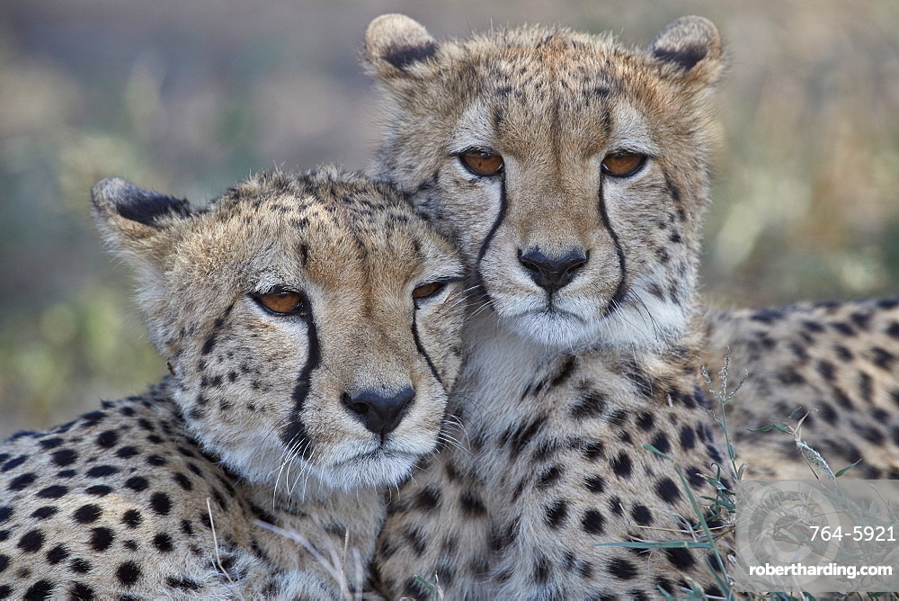Two Cheetah (Acinonyx jubatus), Ngorongoro Conservation Area, Tanzania, East Africa, Africa