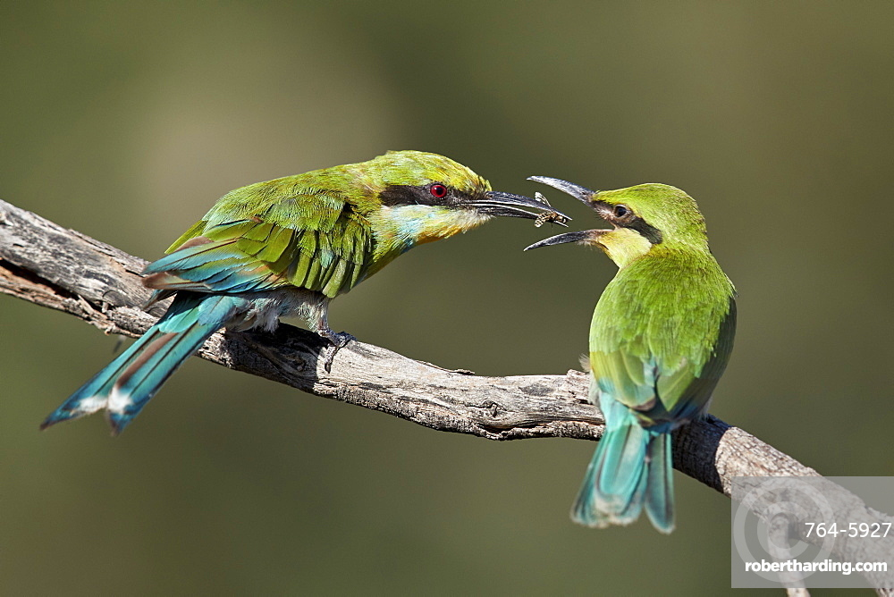 Swallow-tailed bee-eater (Merops hirundineus) adult feeding young, Kgalagadi Transfrontier Park, South Africa, Africa