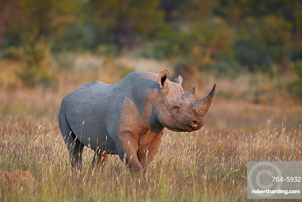 Black Rhinoceros (hook-lipped rhinoceros) (Diceros bicornis), Mountain Zebra National Park, South Africa, Africa