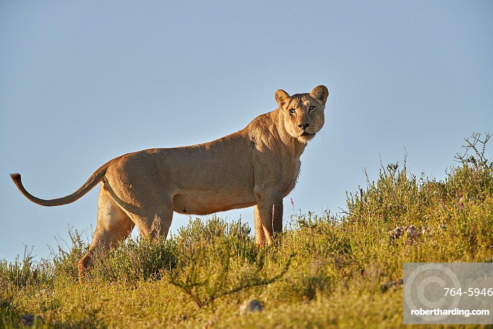Lioness (Lion, Panthera leo), Kgalagadi Transfrontier Park, South Africa
