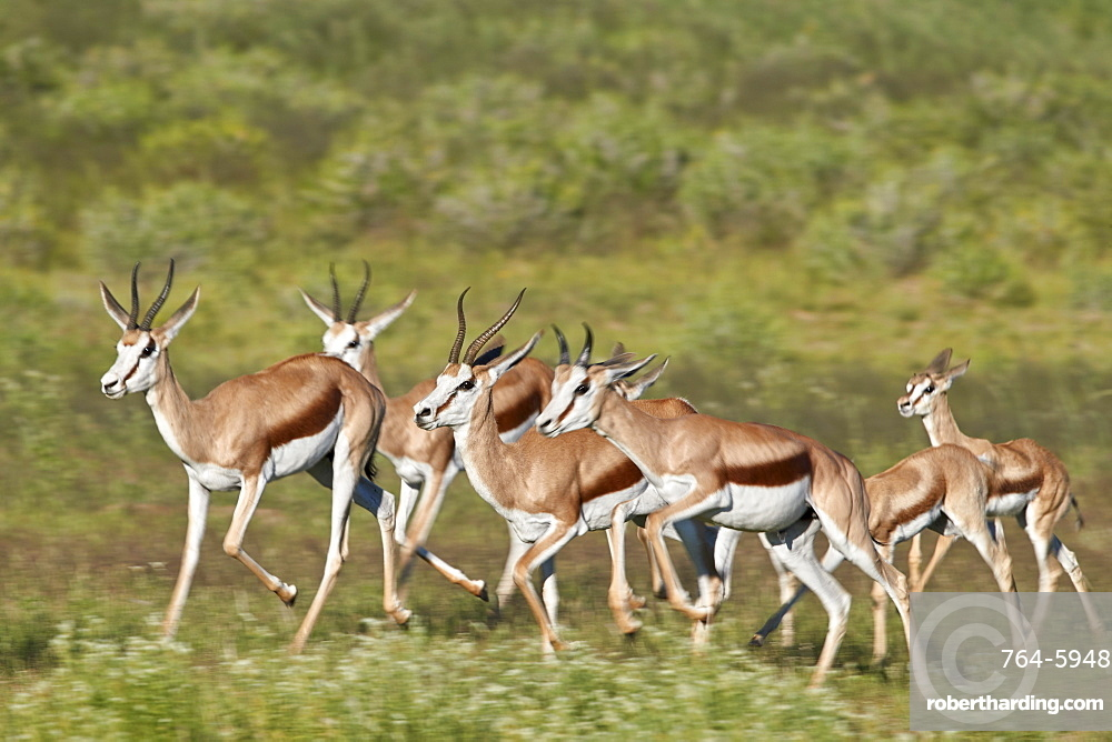 Group of Springbok (Antidorcas marsupialis) running, Kgalagadi Transfrontier Park, South Africa