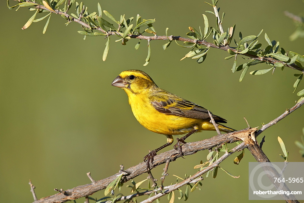 Yellow canary (Crithagra flaviventris), male, Kgalagadi Transfrontier Park, South Africa, Africa