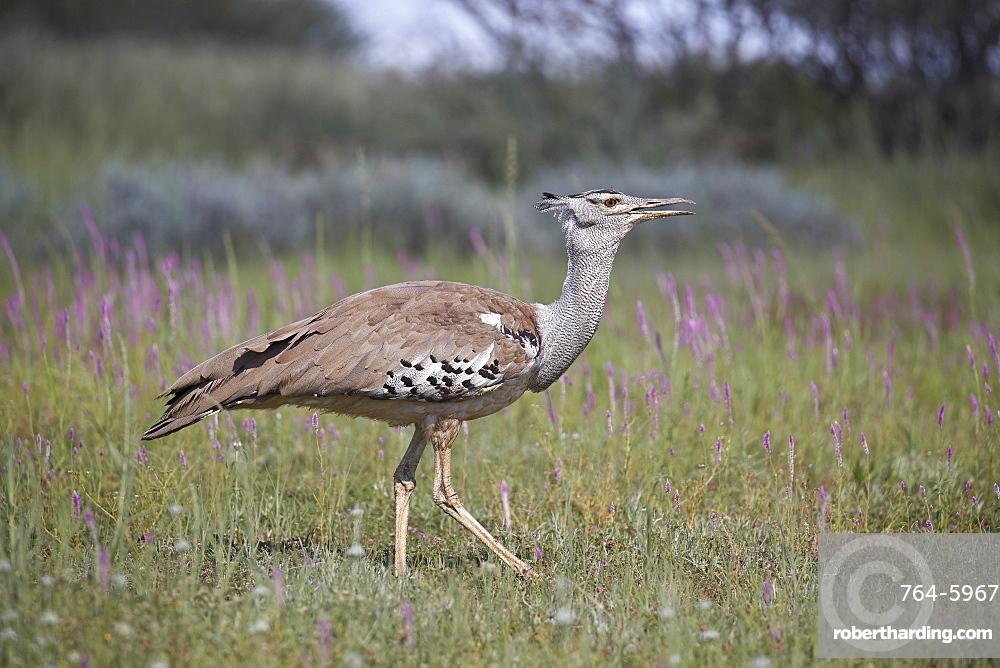 Kori bustard (Ardeotis kori), Kgalagadi Transfrontier Park, South Africa, Africa