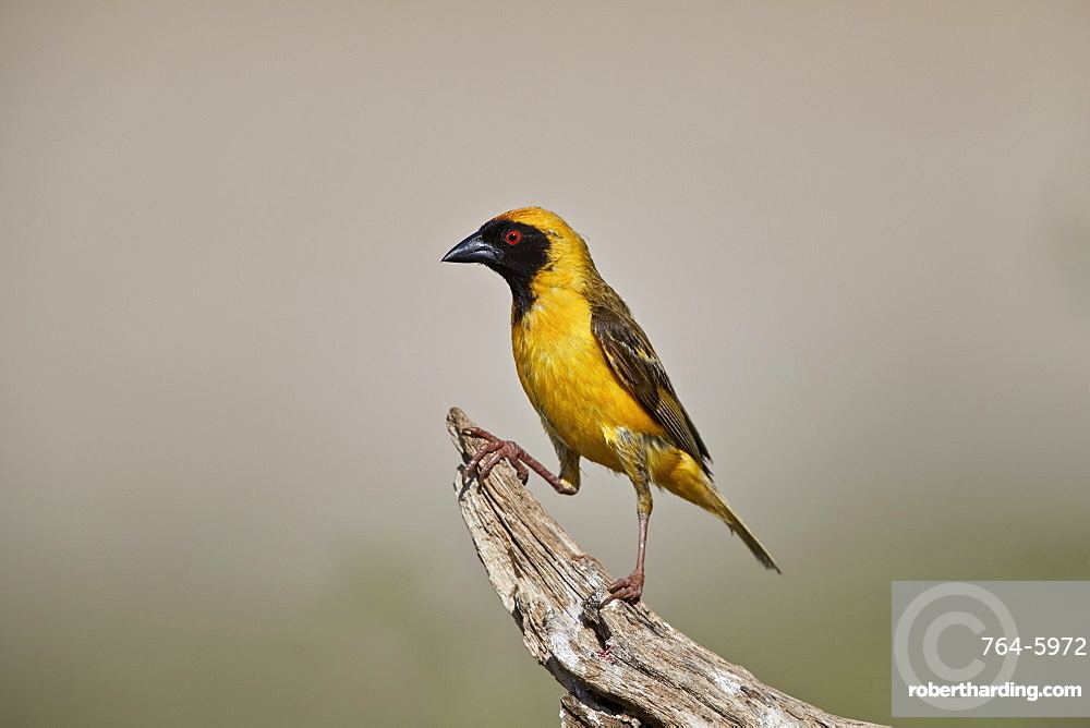 Southern masked weaver (Ploceus velatus), male, Kgalagadi Transfrontier Park, South Africa, Africa