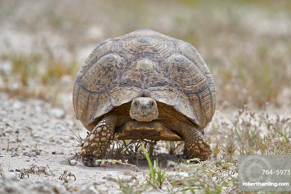 Leopard tortoise (Geochelone pardalis), Kgalagadi Transfrontier Park, South Africa, Africa