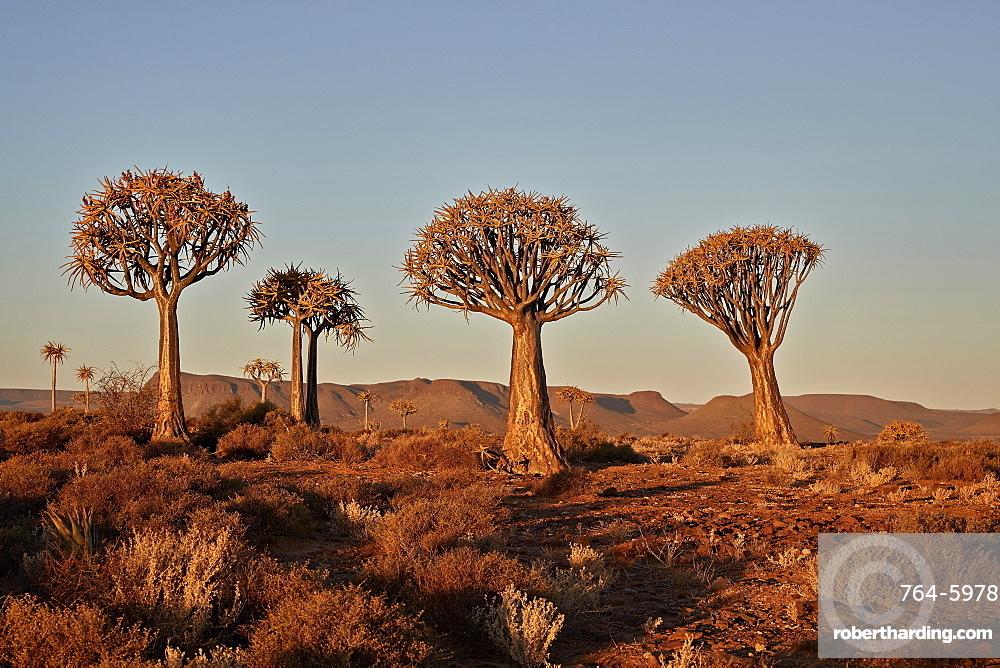 Quiver trees (Kokerboom) (Aloe dichotoma), Gannabos, Namakwa, Namaqualand, South Africa, Africa