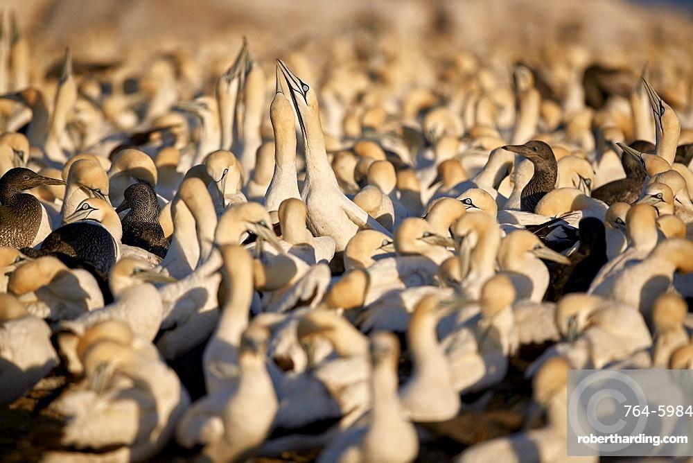 Cape Gannet (Morus capensis) colony, Bird Island, Lambert's Bay, South Africa, Africa