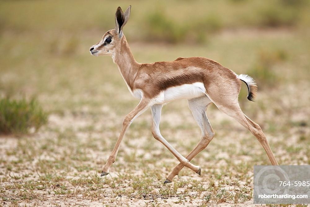 Springbok (Antidorcas marsupialis) calf running, Kgalagadi Transfrontier Park, South Africa