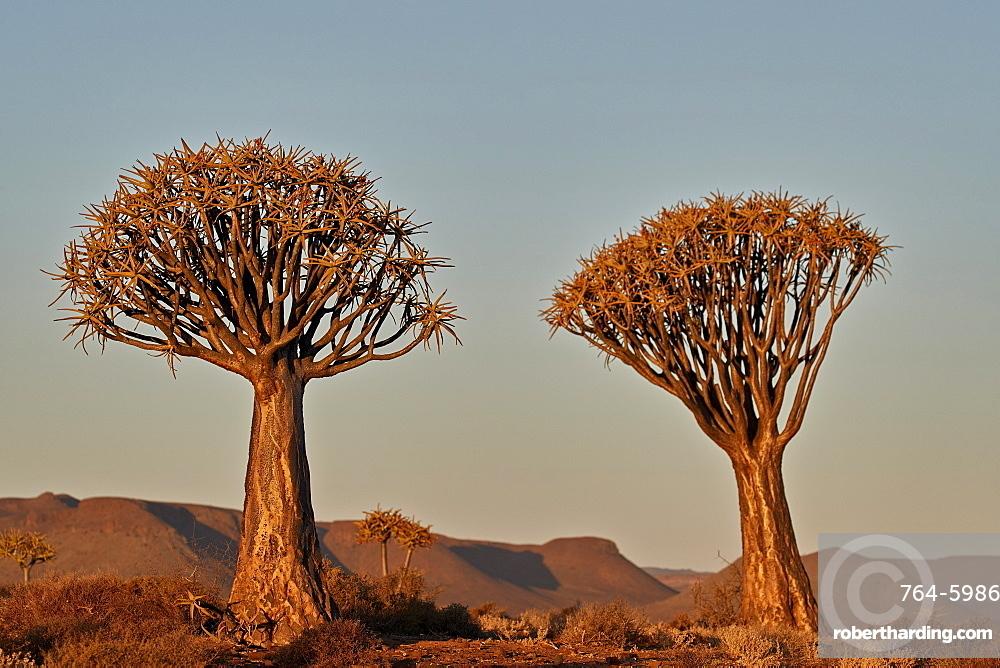 Quiver Tree or Kokerboom (Aloe dichotoma), Gannabos; Namakwa, Namaqualand, South Africa