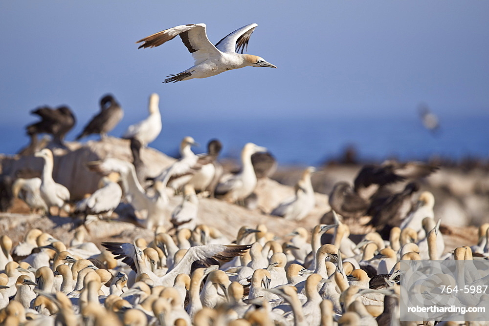 Cape Gannet (Morus capensis) flying over the colony, Bird Island, Lambert's Bay, South Africa, Africa