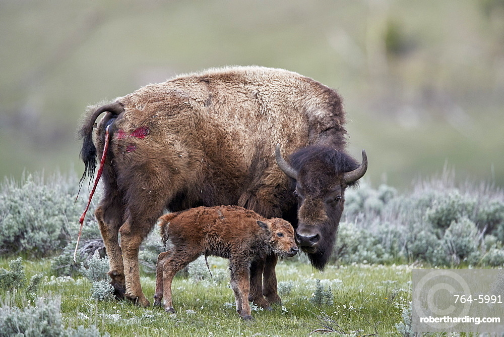 Bison (Bison bison) cow and newborn calf, Yellowstone National Park, Wyoming, United States of America, North America
