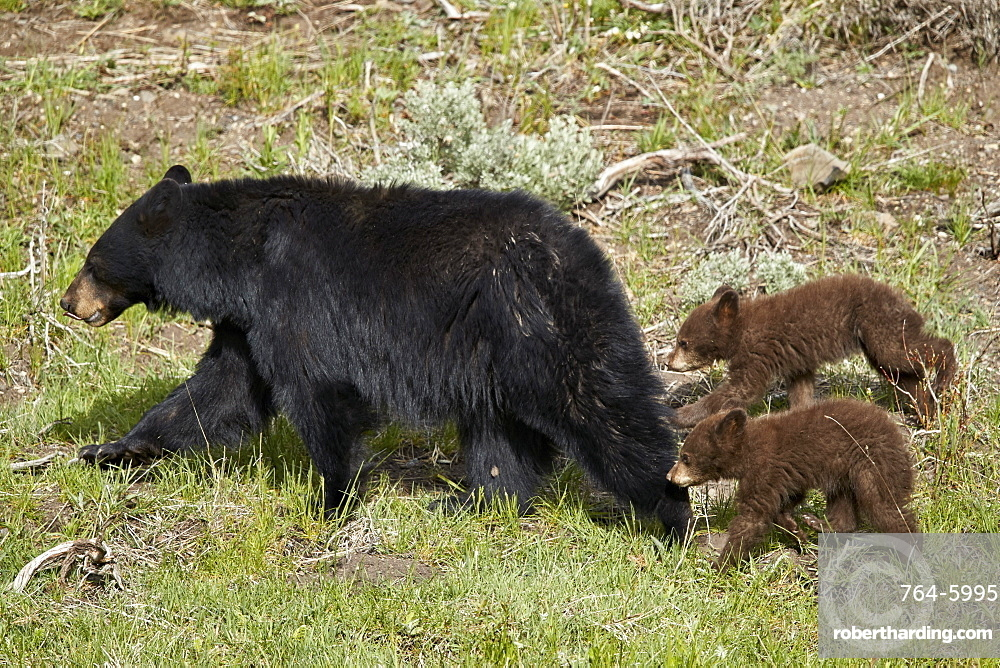 Black Bear (Ursus americanus) sow and two chocolate cubs-of-the-year, Yellowstone National Park, Wyoming, United States of America, North America