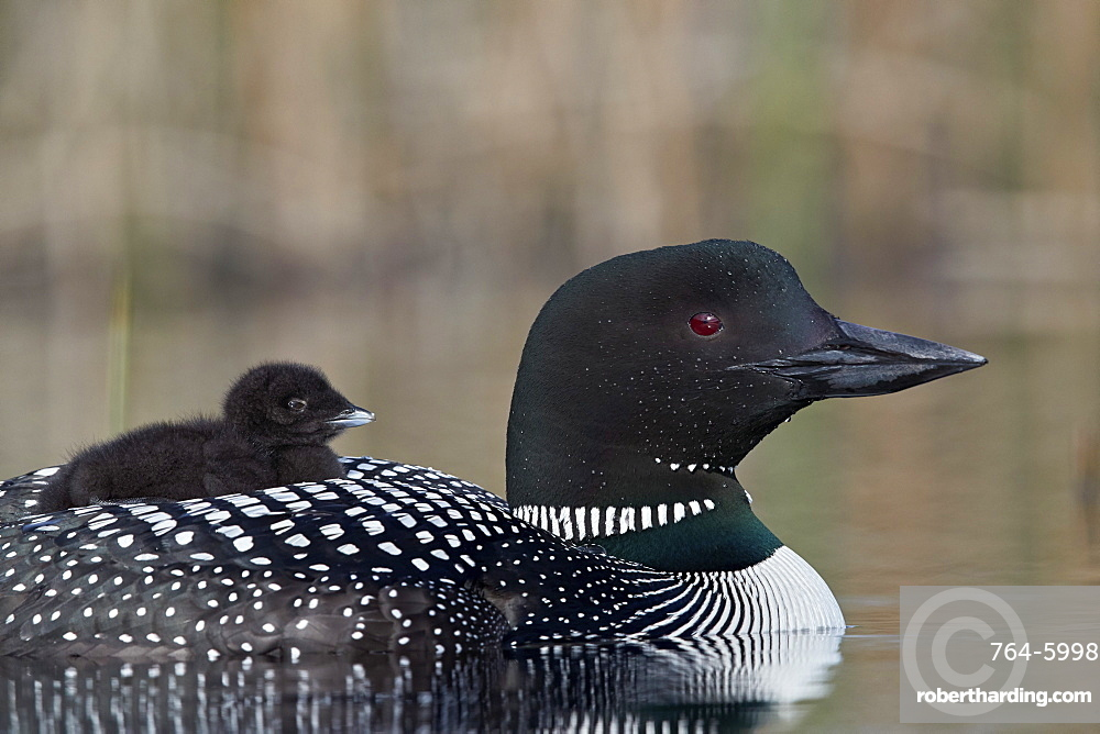 Common Loon (Gavia immer) adult with a chick on its back, Lac Le Jeune Provincial Park, British Columbia, Canada, North America