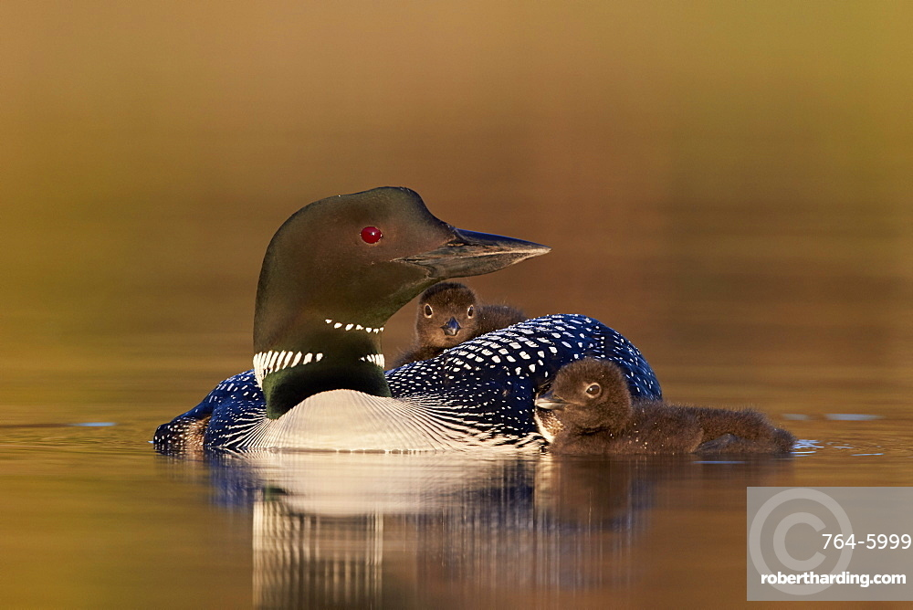 Common Loon (Gavia immer) adult with two chicks, Lac Le Jeune Provincial Park, British Columbia, Canada