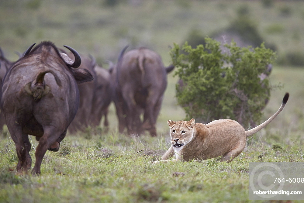 Lioness (Panthera leo) aborting an attack on a Cape Buffalo herd, Addo Elephant National Park, South Africa, Africa