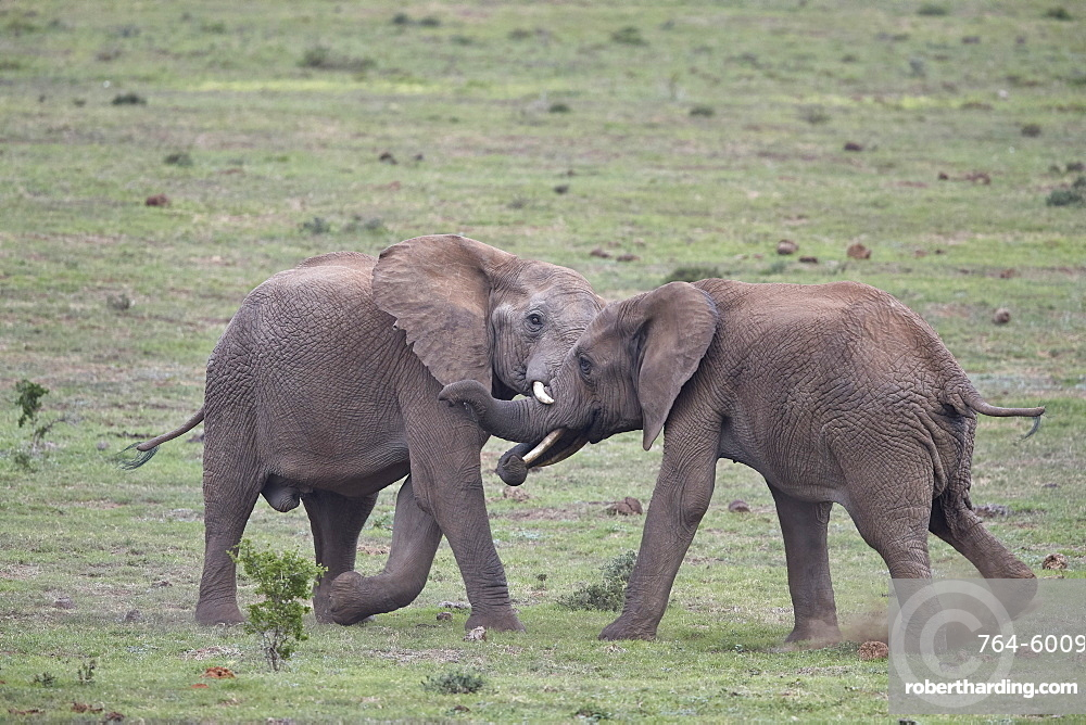 Two African Elephant (Loxodonta africana) bulls testing their strength, Addo Elephant National Park, South Africa