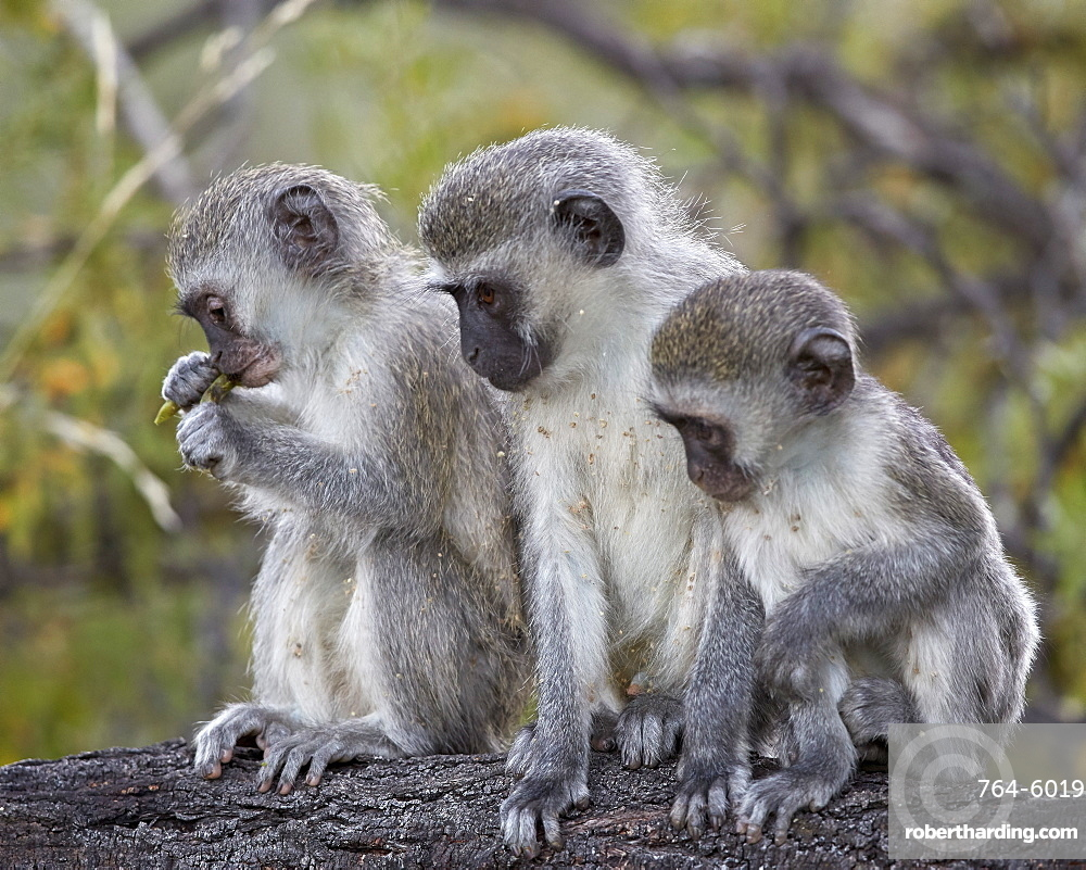 Three young Vervet Monkeys (Chlorocebus aethiops), Mountain Zebra National Park, South Africa, Africa