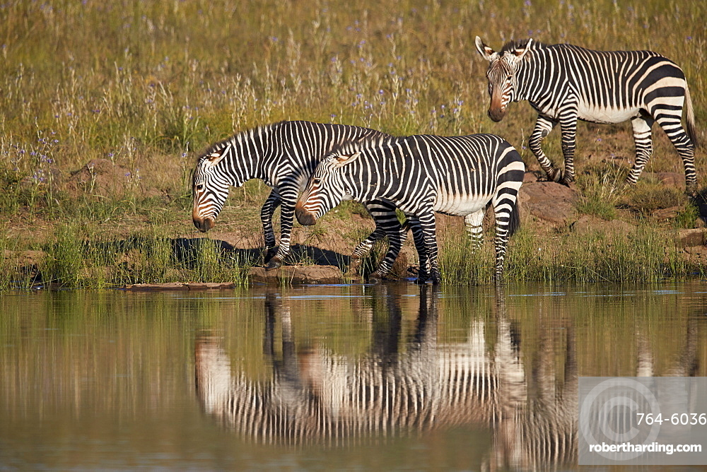 Three Cape Mountain Zebra (Equus zebra zebra) drinking with reflection, Mountain Zebra National Park, South Africa, Africa