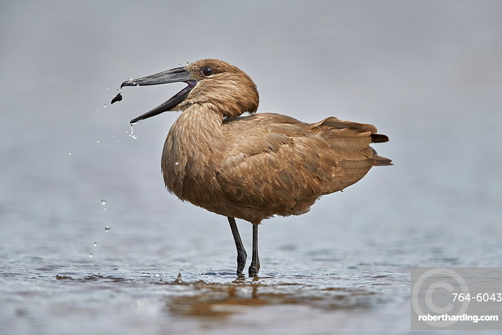 Hamerkop (Scopus umbretta) flipping potential food, Kruger National Park, South Africa, Africa