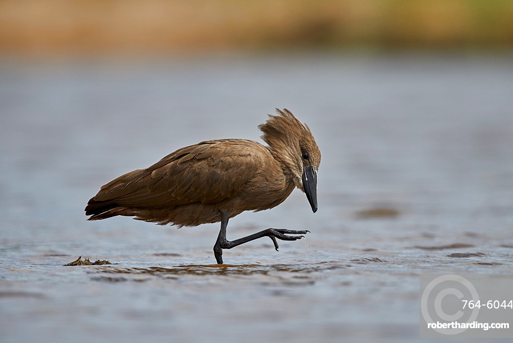 Hamerkop (Scopus umbretta), Kruger National Park, South Africa, Africa