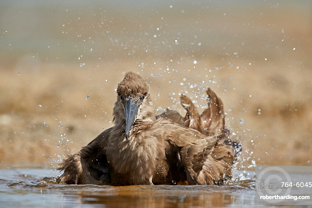 Hamerkop (Scopus umbretta) bathing, Kruger National Park, South Africa, Africa