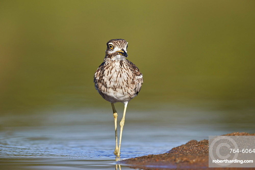 Water Thickknee or Water Dikkop (Burhinus vermiculatus), Kruger National Park, South Africa