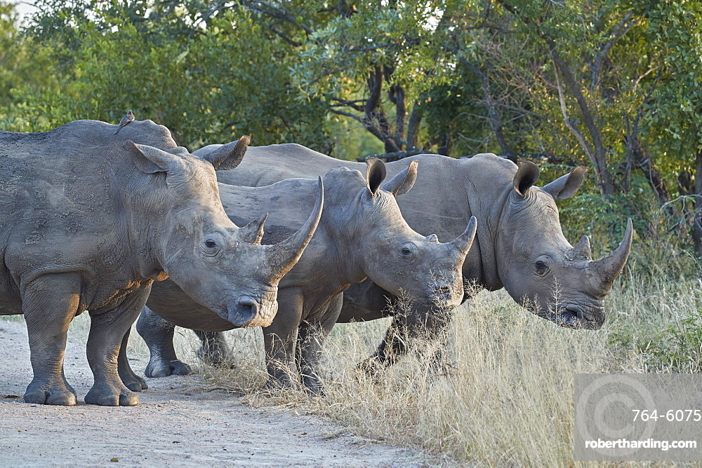 Three White Rhinoceros (Ceratotherium simum), Kruger National Park, South Africa, Africa