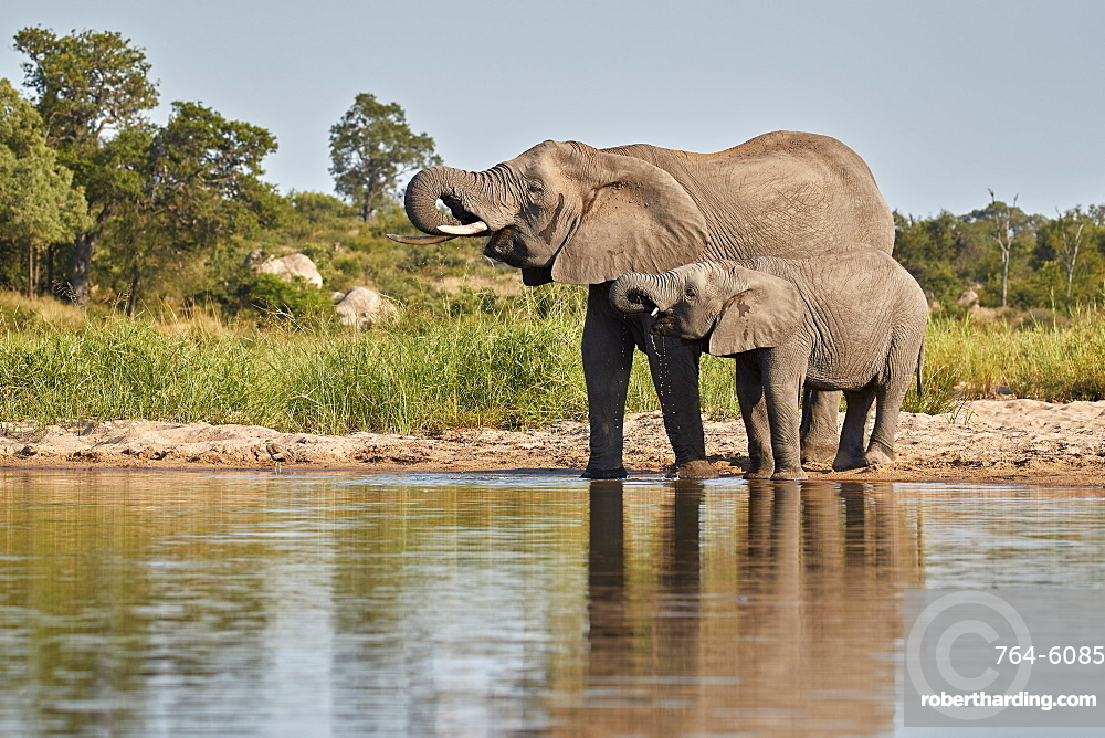 Two African Elephant (Loxodonta africana) drinking, Kruger National Park, South Africa, Africa