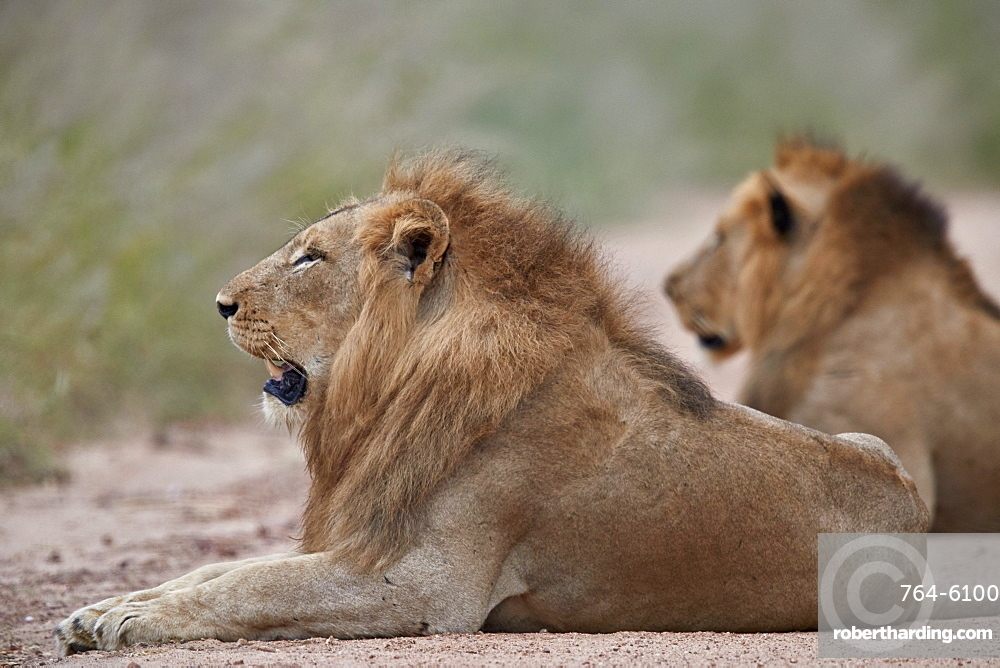 Two male Lion (Panthera leo), Kruger National Park, South Africa