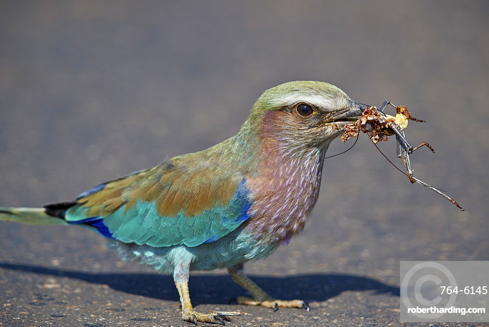 Lilac-breasted Roller (Coracias caudata) with an insect carcass, Kruger National Park, South Africa, Africa
